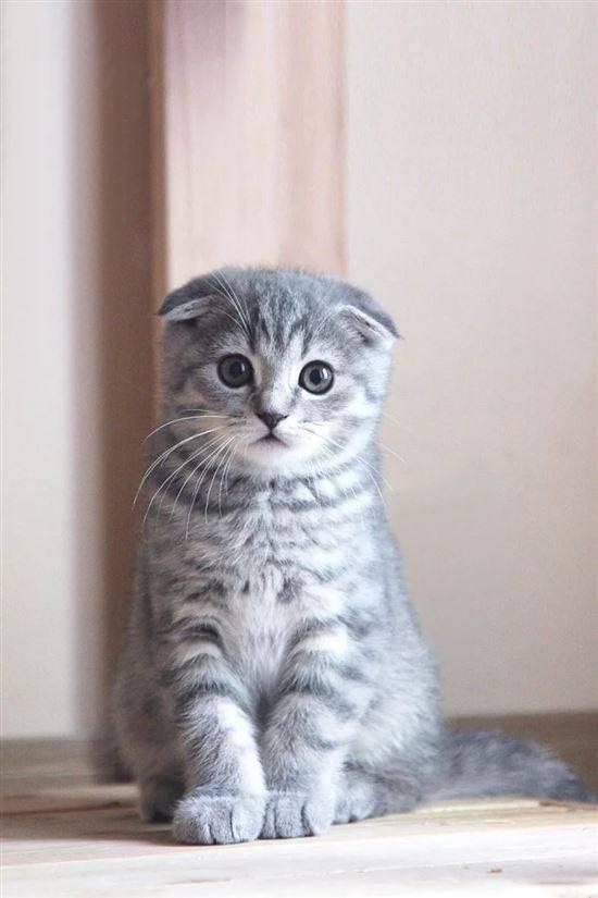 светло серые вислоухие котята фото достопримечательности индии это