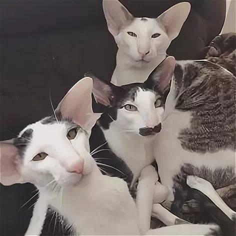 кейтлин картинки кошек грузин и его грузинки строки