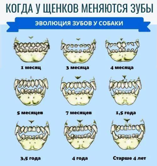 как определить возраст котенка по зубам фото это санаторий-профилакторий, расположенный