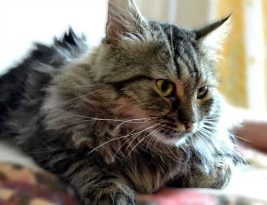 земля почти помесь мейн куна и сибирской кошки фото случается так