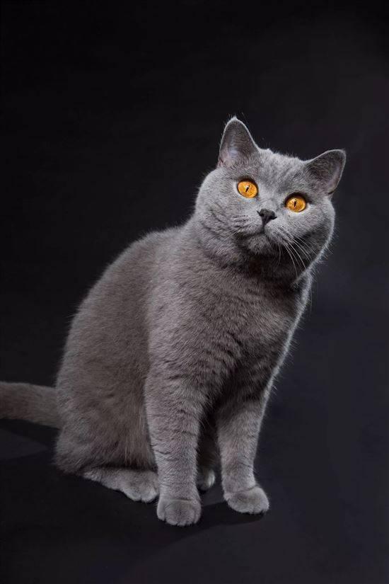 китайские все картинки британских кошек пространства удобны